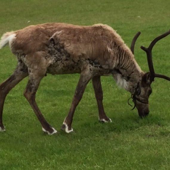 adopt a reindeer chester