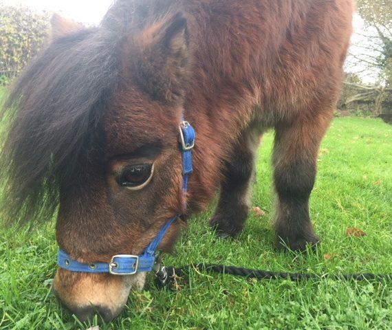 Lilly - adopt a miniature shetland pony